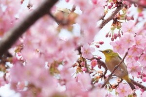 charry blossoms and bird
